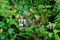 Patch of wild Honeysuckle. Purple, yellow and white wild honeysuckle Royalty Free Stock Images