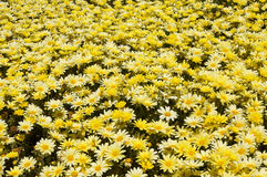 Patch of Yellow Daisies Royalty Free Stock Photography