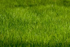 Patch of young fresh green grass. Patch of young fresh grass in springtime lit by sunshine Royalty Free Stock Image