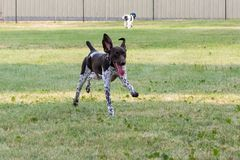 German Shorthair Pointer Running in the Grass royalty free stock image