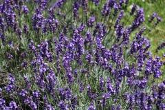 Patcheds цвета lavander Стоковое Фото