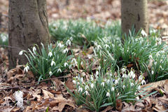 Patches of white snowdrops in the woods. With dry leaves Royalty Free Stock Image