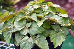 Patchoeliinstallatie in tuin Stock Afbeelding