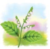 Patchouli da planta (cablini do Pogostemon). ilustração do vetor