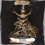 Patchouli sketch on elegant black and golden lace background. Royalty Free Stock Images