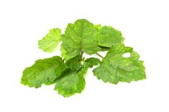 Patchouli oil leaves fresh white background stock images