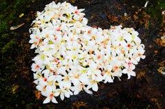 Patchwork en gros plan de fleur d'arbre de Fordii (Tung) (forme de coeur) Photo stock