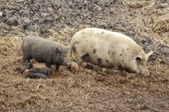 family idyll with pigs in the wilderness stock image