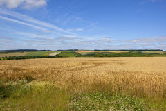 Patchwork fields and barley. A golden barley field with patchwork fields and white clover in the foreground under a blue summer sky in the yorkshire wolds Royalty Free Stock Photos