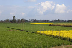 Punjabi countryside. Patchwork fields of wheat yellow flowered mustard crops and sugar cane in the rural landscape of Punjab India Royalty Free Stock Image