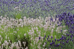 Patchwork of Lavender Plants. Numerous varieties of purple and mauve lavender plants providing a patchwork of colour Stock Photo