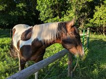 Patchwork Pony. A patchwork pony grazing on the greener grass on the other side of the fence. Riding horse stock image