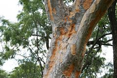 PATCHY BARK ON A TREE TRUNK. Tree with grey patches of bark Stock Image