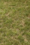 Patchy Green Grass. Summer stripped grass. Patchy green and brown Stock Image