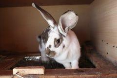 Patchy kanin Arkivbild