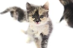 Patchy kitten. Tiny brindled pry kitten looks to objective Stock Photos