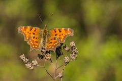 Patchy orange butterfly, Polygonia album. With open wings, sitting on dry plant, spring sunny day, blurry green and black background, copy space royalty free stock image