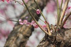 Płatek różowy śliwkowy kwiat kwitnie wśród słonecznego dnia Zdjęcie Stock