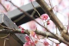 Płatek różowy śliwkowy kwiat kwitnie wśród słonecznego dnia Obraz Stock