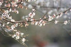 Płatek różowy śliwkowy kwiat kwitnie wśród słonecznego dnia Obraz Royalty Free