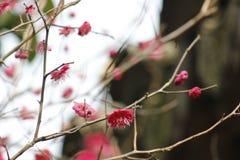 Płatek różowy śliwkowy kwiat kwitnie wśród słonecznego dnia Fotografia Stock