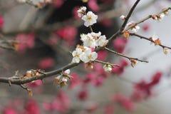 Płatek różowy śliwkowy kwiat kwitnie wśród słonecznego dnia Obrazy Stock