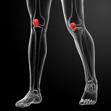 Patella Stock Photos