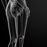 Patella bone Royalty Free Stock Photo