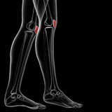 Patella bone Stock Image