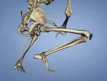 Patella, 3D Model Stock Image