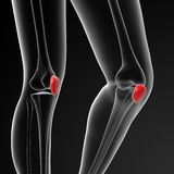 Patella Stock Image