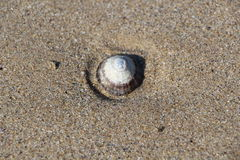 Patella sulla sabbia Fotografia Stock