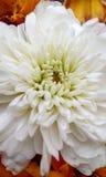 Patels completos de la flor Imágenes de archivo libres de regalías