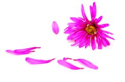 Patels rosafarbenes Gänseblümchenfeld Stockbilder