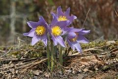Patens do Pulsatilla (pasqueflower, fumo de pradaria, açafrão da pradaria, e anêmona orientais do cutleaf) Imagem de Stock Royalty Free