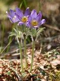 Patens do Pulsatilla (pasqueflower, fumo de pradaria, açafrão da pradaria, e anêmona orientais do cutleaf) Fotografia de Stock Royalty Free