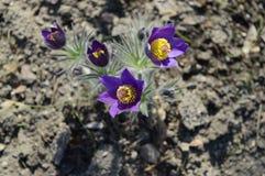 Patens violetas do pulsatilla no sol da mola imagens de stock