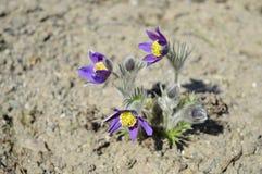 Patens violetas do pulsatilla no sol da mola foto de stock