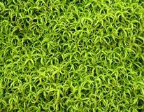 patern绿色的青苔 图库摄影