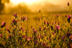 Paterson's Curse flowers. A field of Patterson's Curse Flowers at sunset Stock Photography