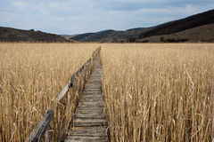 Path. Wooden walking path trough the Natural Reed Reservation from Sic, Romania Stock Photography