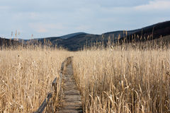 Path. Wooden walking path trough the Natural Reed Reservation from Sic, Romania Stock Photos