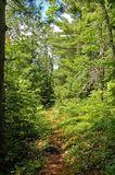 Path. In sunny pine forest in Algonquin Park Royalty Free Stock Photography