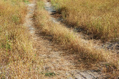 Path. Going through the field of yellow grass Stock Photo