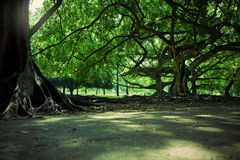 Path across giant ficus benjamina Royalty Free Stock Images