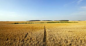 Path in the agricultural field. A narrow path in the agricultural field, which is tapered wheat. In the background to harvest Royalty Free Stock Images