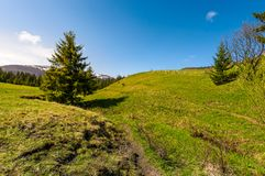 Path along the grassy slope in forested area. Beautiful springtime landscape of Ukrainian alps. mountain ridge with snowy tops in the distance Stock Photos