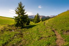 Path along the grassy slope in forested area. Beautiful springtime landscape of Ukrainian alps. mountain ridge with snowy tops in the distance royalty free stock photo