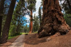 Path amongst the giant redwoods in Sequoia National Park, California, USA. royalty free stock photo