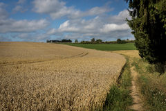 A path around the yellow cornfield. In sommer and the forest Stock Photo